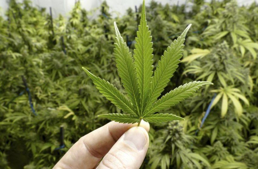 La marihuana, un paso más cerca de ser legal en Estados Unidos