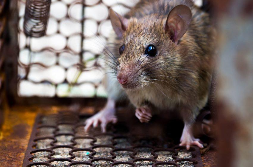 Coronavirus: por qué la pandemia está cambiando el comportamiento de las ratas