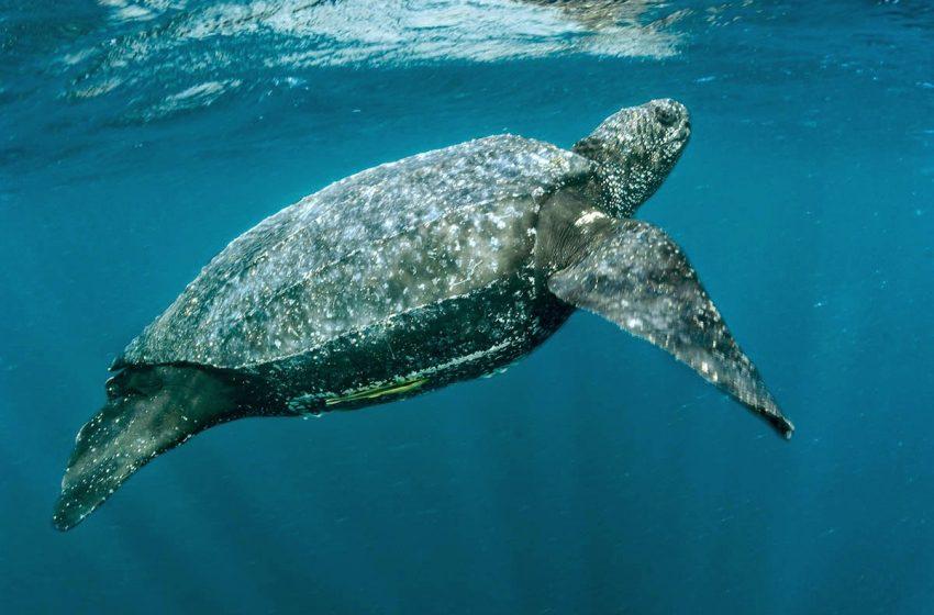 La tortuga marina más grande del mundo, en tiempos del nuevo coronavirus
