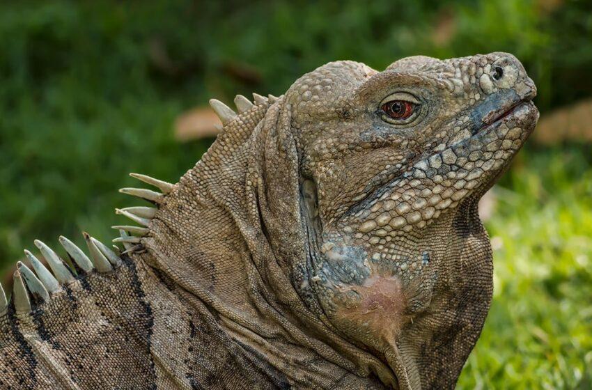 Imponen garantía económica de RD$3,000 a un hombre por capturar iguana para comérsela
