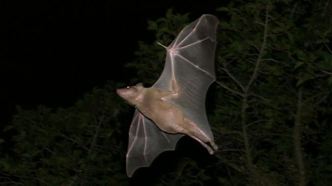 Murciélagos, otras víctimas de la pandemia