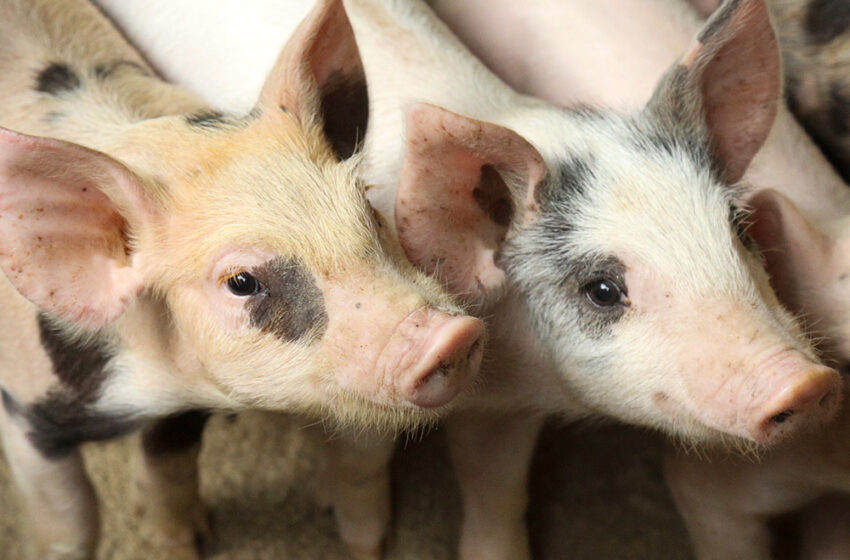 Canadá aumenta controles tras brote de peste porcina en República Dominicana