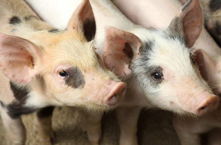 Gobierno adquiere equipo que detecta la fiebre porcina africana en menos de dos horas