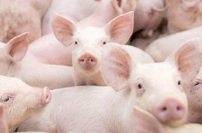 La peste porcina africana se convierte en una amenaza para América